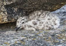 Nestling big polar seagull hiding under a stone. Royalty Free Stock Photo