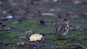 Nestling of bird Finch (chaffinch) has grown up and now he walks on the ground and trying to get food. Chickens are studying everything around. He pecks stock video footage