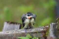 A nestling bird. The Leningrad Region, Russia. Stock Image