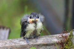 A nestling bird. The Leningrad Region, Russia Stock Images