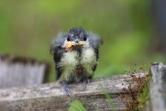 A nestling bird. The Leningrad Region, Russia. Stock Photo