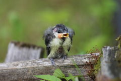 A nestling bird with open beak. The Leningrad Region, Russia Stock Photo