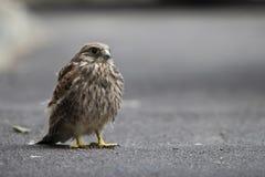Nestling bird of prey Royalty Free Stock Photo