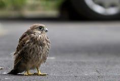 Nestling bird of prey Stock Photo