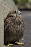 Nestling bird of prey Stock Photography