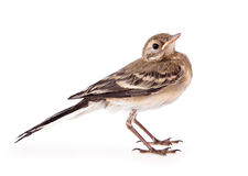 Nestling of bird (wagtail). Isolated on white stock photography