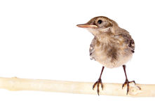 Nestling of bird (wagtail) Royalty Free Stock Photo