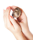 Nestling of bird (wagtail) on hand Stock Photos