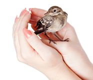 Nestling of bird (wagtail) on hand Royalty Free Stock Photos