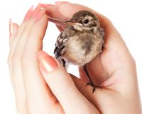 Nestling of bird (wagtail) on hand Stock Image