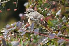 Nestling birds Redstart. Stock Photos