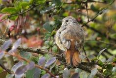 Nestling birds Redstart. Stock Photo