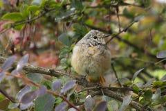 Nestling birds Redstart. Stock Images