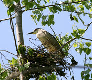 The Nestling Black-crowned Night Heron Royalty Free Stock Image
