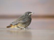 Nestling of blackbird. Flightless nestling of blackbird - Turdus merula royalty free stock image