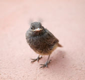 Nestling of blackbird Stock Photos