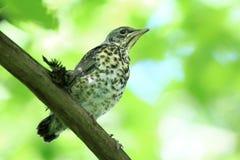 Nestling blackbird on a branch Royalty Free Stock Photos