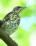 Nestling blackbird on a branch Stock Images