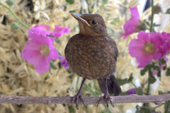 Nestling on a branch. Spring background. Blackbird on a branch Stock Photography