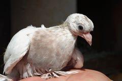 Nestling branco do pombo doméstico fotos de stock royalty free