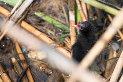 Nestling of common moorhen or Gallinula chloropus Royalty Free Stock Images