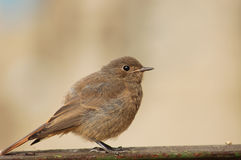 Nestling de Redstart Imagens de Stock