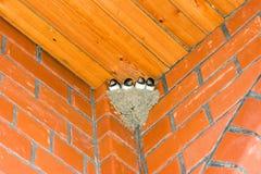 Nestling dello Swallow immagini stock libere da diritti
