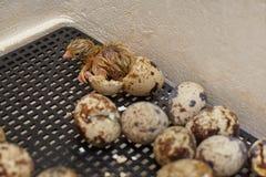 Nestling der japanischen Wachteln Stockbild