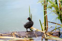 Nestling des Blässhuhns (Fulica) auf einem See Lizenzfreies Stockfoto