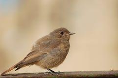 Nestling di Redstart Immagini Stock