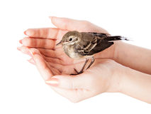 Nestling do pássaro (wagtail) na mão imagens de stock royalty free