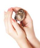 Nestling do pássaro (wagtail) na mão fotos de stock
