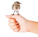 Nestling do pássaro (wagtail) na mão fotografia de stock