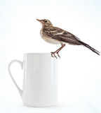 Nestling do pássaro (wagtail) no copo fotos de stock