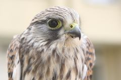 Nestling of falcon is a kestrel Royalty Free Stock Photos