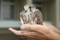 Nestling of falcon kestrel on a hand Royalty Free Stock Photography