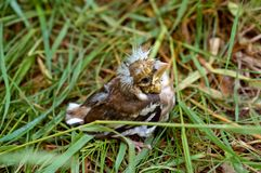 Nestling, fledgling, baby, grass, fell, gathering, feathers, crest Stock Photo
