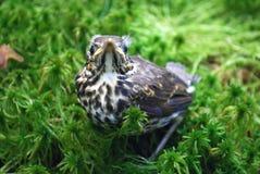 Nestling fledgling Stock Photo