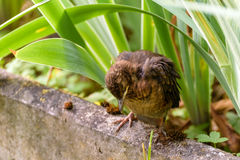 The nestling flew out of the nest, waiting for the feeding, sleeping Stock Photography