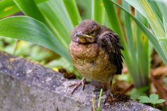 The nestling flew out of the nest and waits for the feeding. Common blackbird. Photohunting. The nestling flew out of the nest and waits for the feeding. Common royalty free stock photography