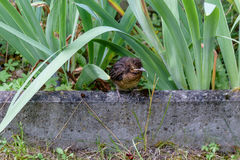 The nestling flew out of the nest and waits for the feeding. Common blackbird. Turdus merula. Animalistic. A photo of wild animals in a natural habitat is a stock image