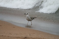 Nestling gull standing on the shore against sea wave. Nestling Seagull stands on the sandy shore. Behind approaching a tidal wave Royalty Free Stock Photos