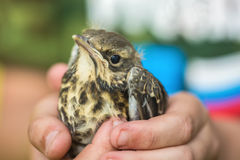 Nestling in the hands. Little birdie chick sits on the palm of your hand stock image