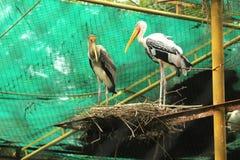 Nestling heron Royalty Free Stock Image