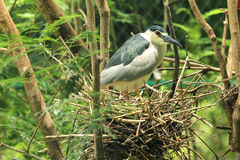 Nestling heron-4 Stock Photo