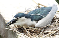 Nestling heron Stock Photo