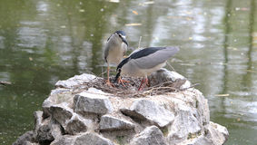 Nestling herons Royalty Free Stock Images