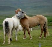 Nestling islandês dos cavalos entre eles Fotografia de Stock Royalty Free