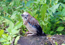 Nestling jay taking off from a nest Royalty Free Stock Image
