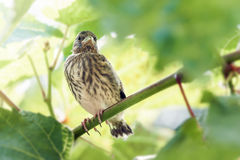 Nestling linnet Royalty Free Stock Photography